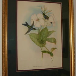 Vintage print of hummingbirds, after  John Gould original